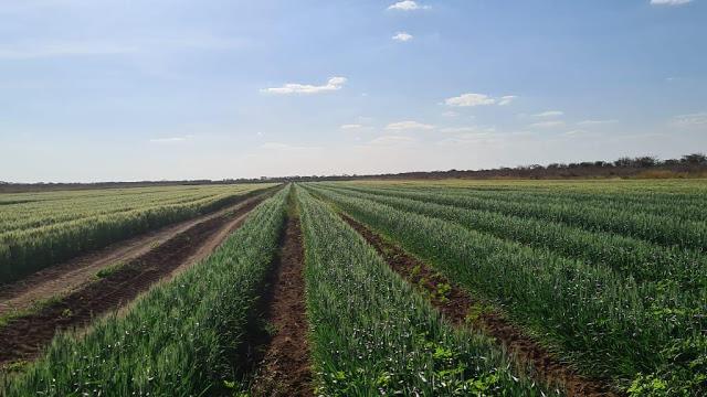 Chapada do Apodi terá primeira colheita de trigo em 15 dias